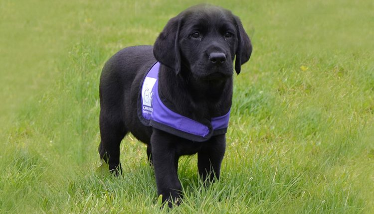 Black labrador puppy on grass wearing Canine Partners purple jacket