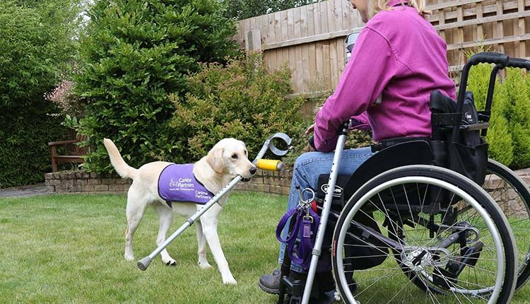 An assistance dog carrying a crutch to a woman in wheelchair