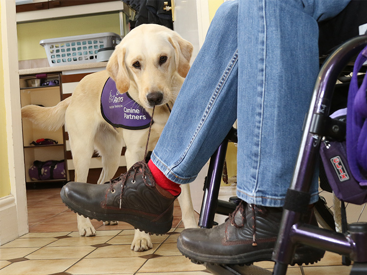 Assistance dog May untying shoelace for her partner Kate who is in a wheelchair