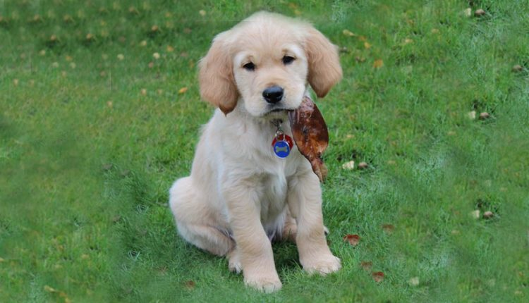Cute Canine Partners puppy chewing on a leaf