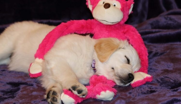Cute puppy sleeping with pink monkey toy