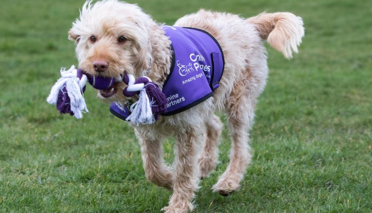 Canine Partners assistance dog Harvey running in a field playing with a rope toy