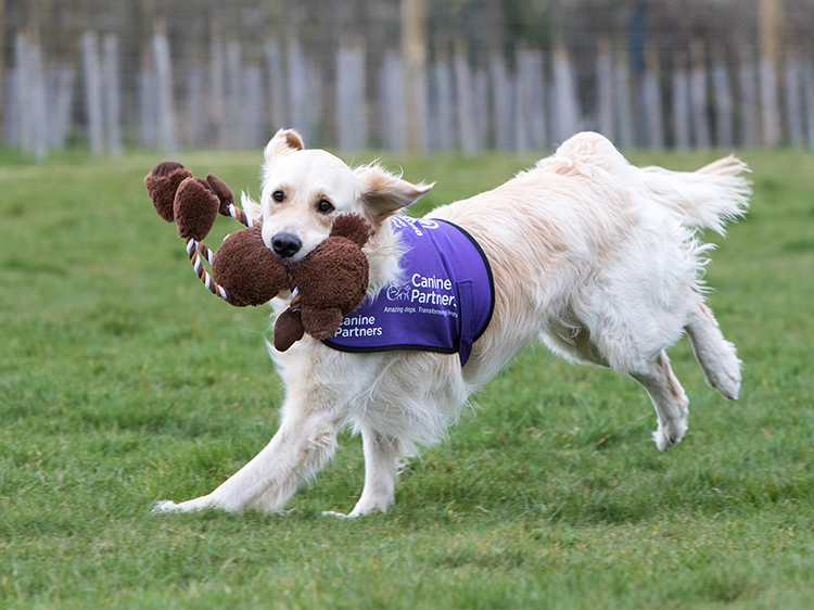 Excited golden retriever running in a field with donated toys