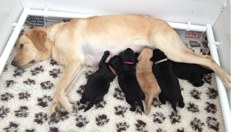 A Canine Partners brood bitch laying down feeding her litter of four puppies.