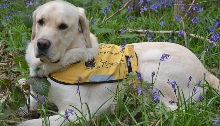 Dual assistance dog trained by Canine Partners and Hearing Dogs for Deaf People