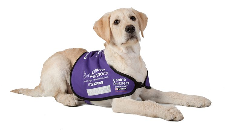 Canine Partners assistance dog in training laying down