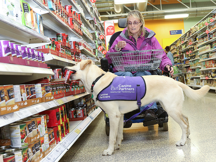 Assistance dog May helping motorised wheelchair user Kate at the shops by picking up cans to put in a basket