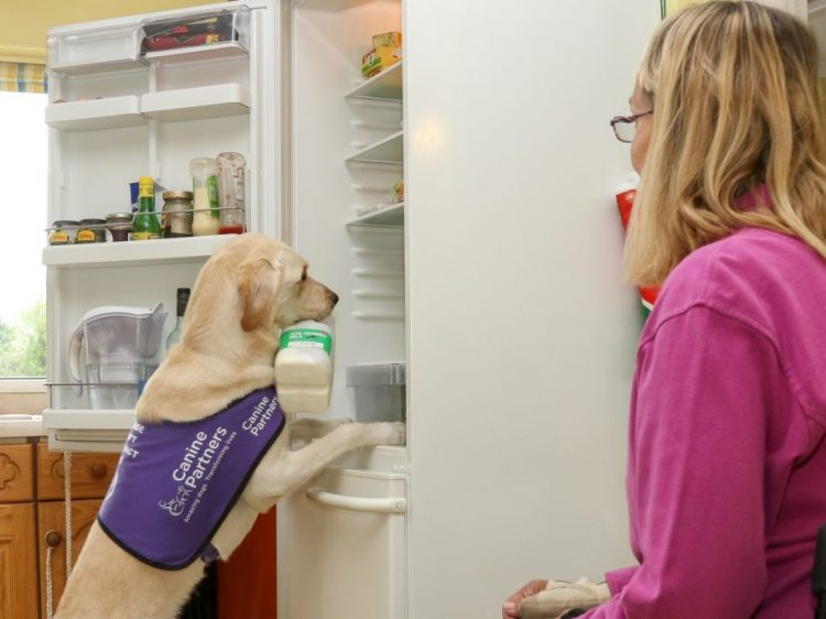 Assistance dog May taking milk from the fridge for her owner