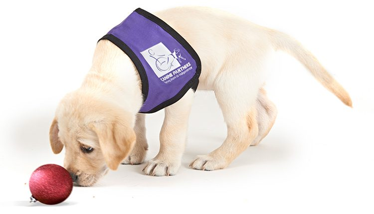 Assistance dog puppy in training wearing Canine Partners purple jacket and playing with red Christmas bauble