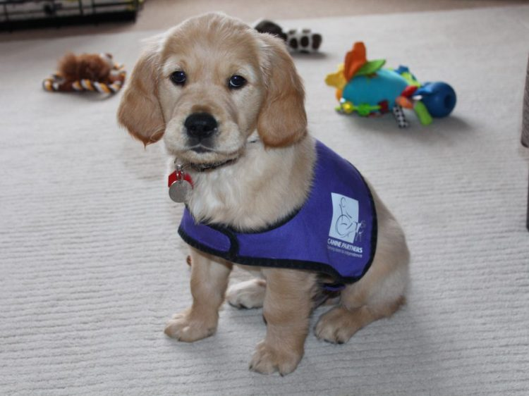 Scrumpy the puppy training to be an assistance dog, sat on carpet surrounded by toys