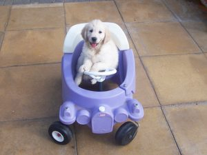Canine Partners puppy sat in children's toy car