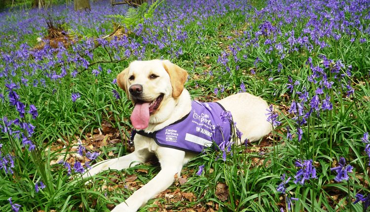 Canine Partners Bluebell Walks 2017 roundup