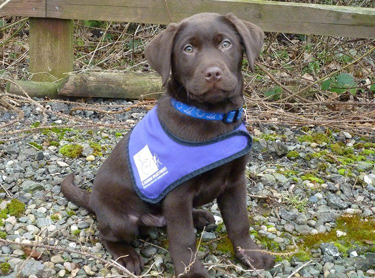 Canine Partners sponsor a puppy scheme Labrador Sky