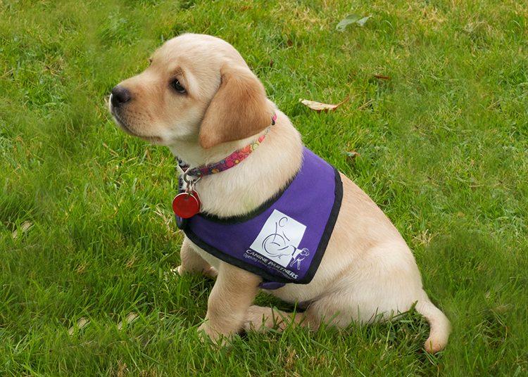 Canine Partners sponsor a puppy scheme Labrador Summer