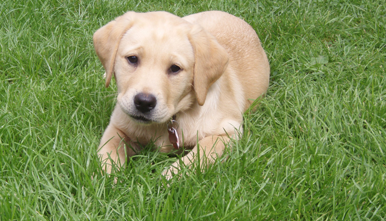 Canine Partners puppy laying down in the grass