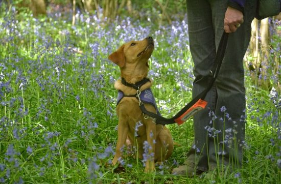 Canine Partners puppy in training at the Martinshaw Wood Bluebell Walk