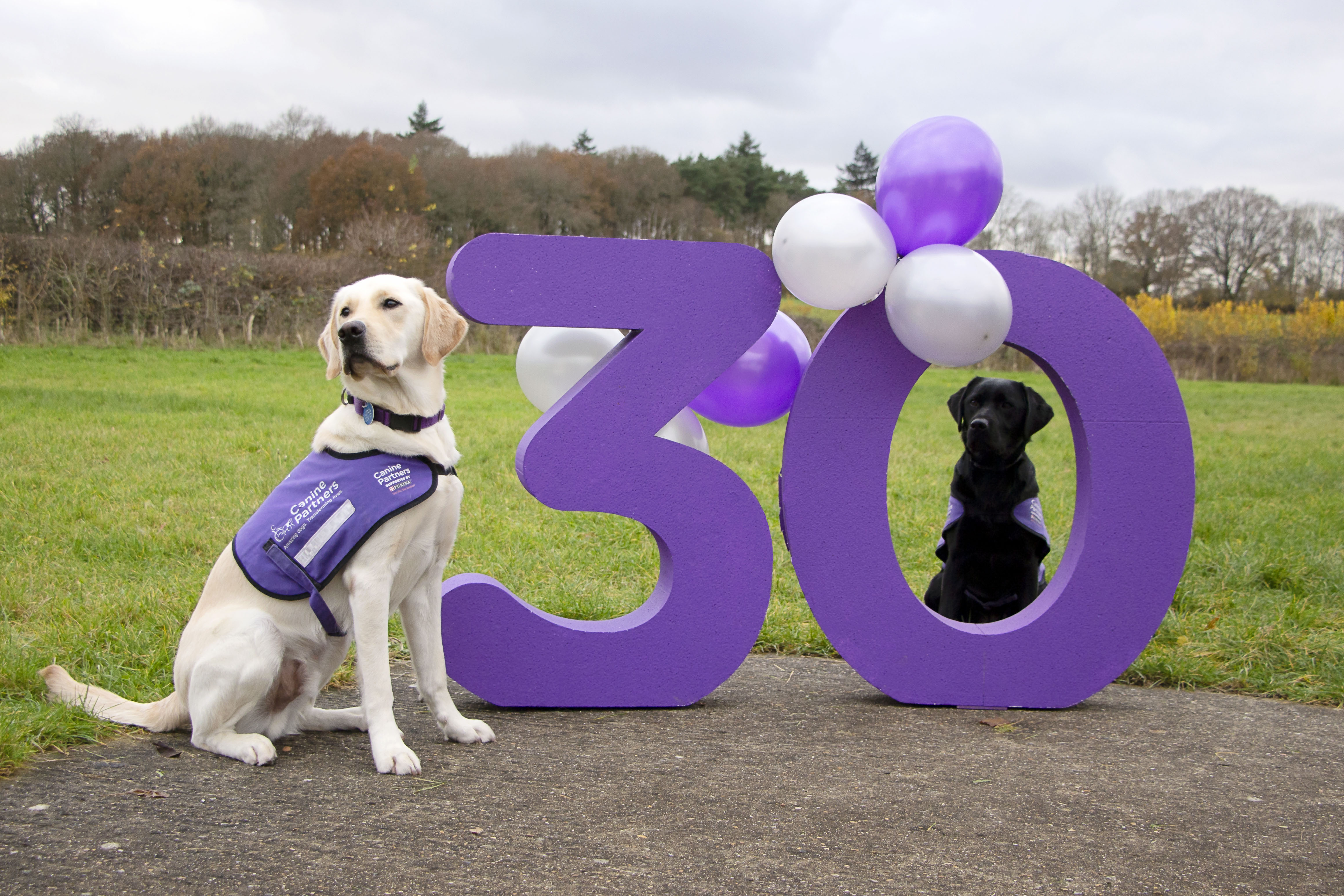 Two dogs in advanced training sit with a large purple 30 and purple and silver balloons