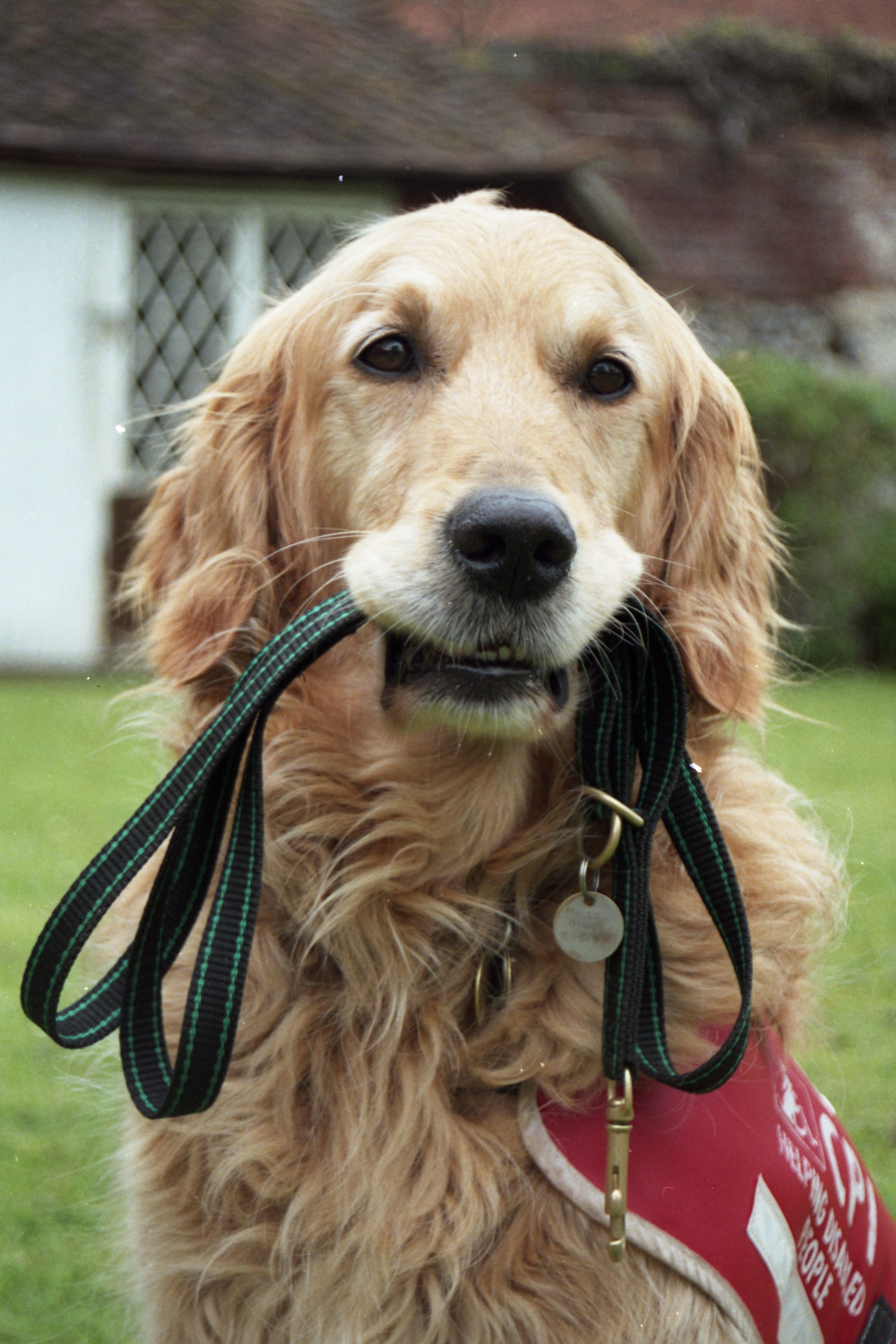 A golden retriever dog wearing the charity's original red and grey assistance dog jacket holding a lead in its mouth